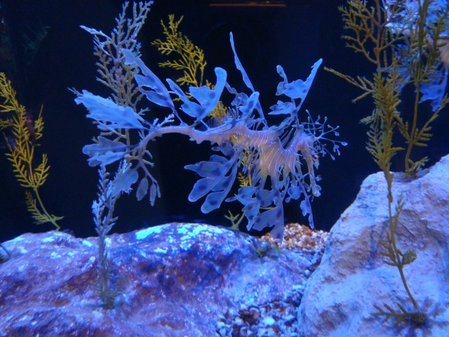 Sea Dragons.  The most fabulous sea creature I've ever seen!