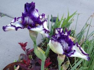 purplewhiteiris