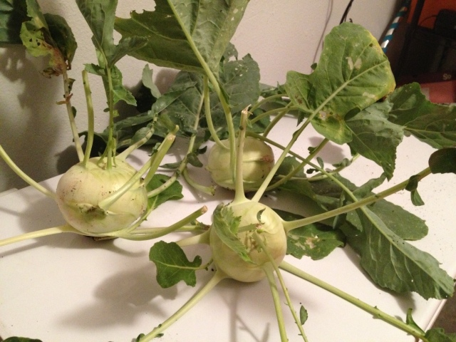 "This year's fresh out of the garden kohlrabi harvest!  Kohlrabi is greeted with eager anticipation from some and scrunched up ""icky"" faces by others!"