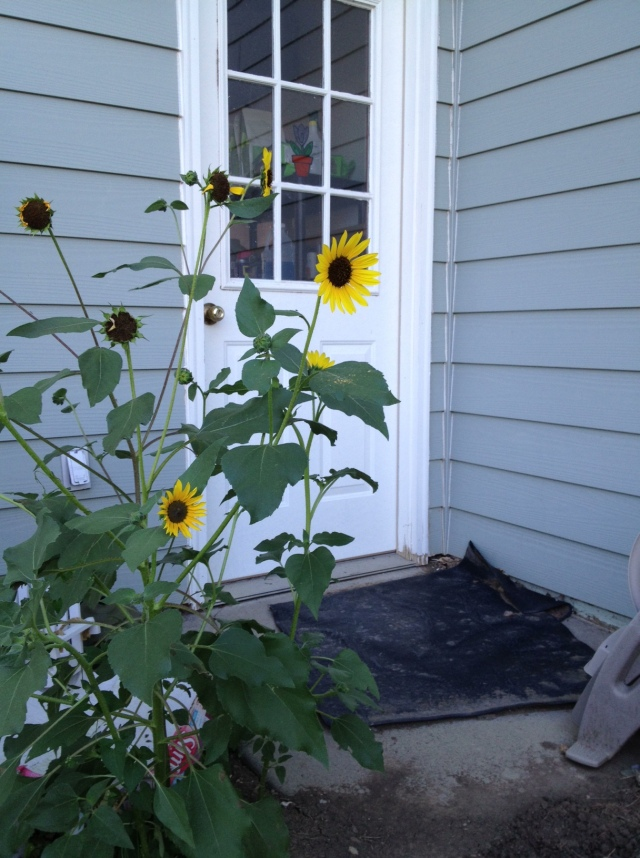 A volunteer sunflower, probably from seeds dropped by one of my fine feathered friends!
