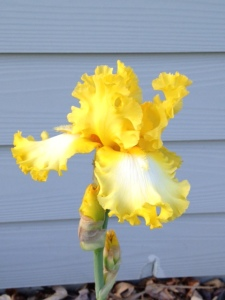 Yellow and White Iris