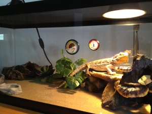 "Aurora's ""Little Buddy"", a Bearded Dragon"
