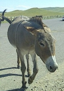 My impression of Mr. Bigwig after lunch today.  (No offense to the donkey pictured!)