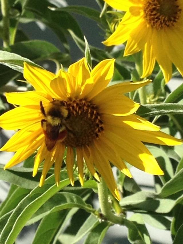 Sunflowerwithbee