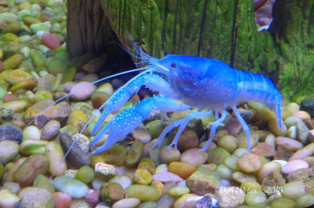 Blue crawfish©